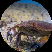 Spar krabben